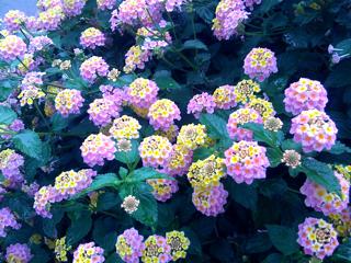 歩道に植えられている花